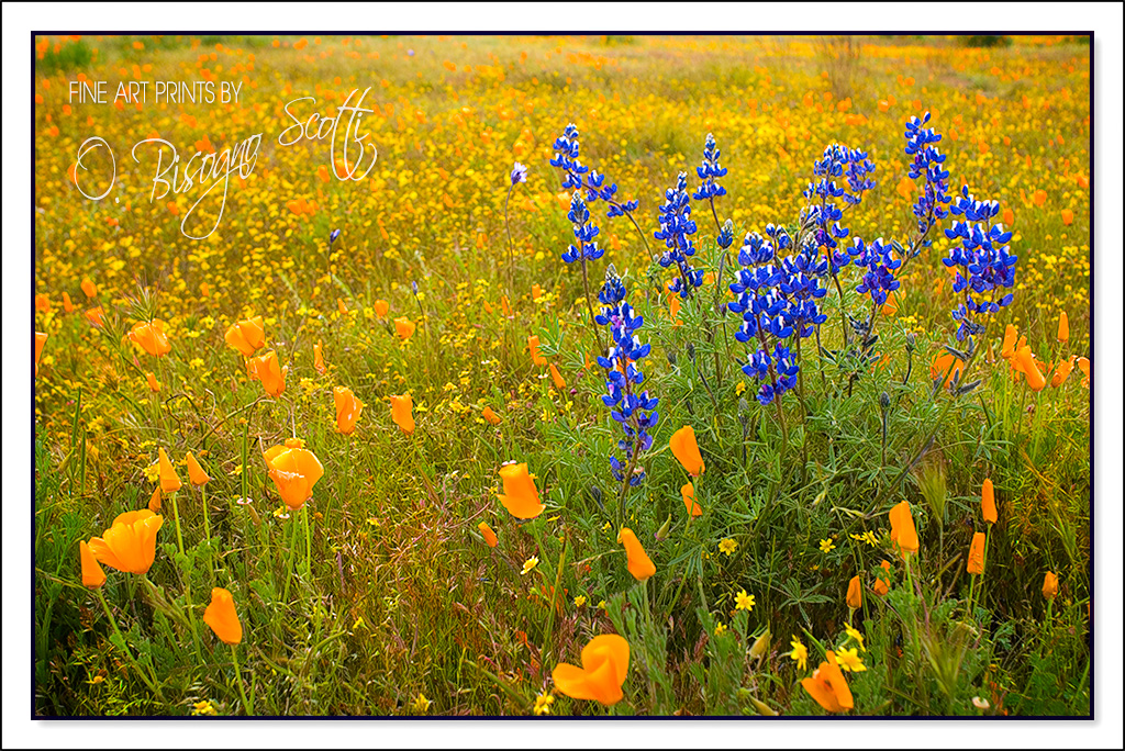 Lupine and Poppies - Carrizo Plain