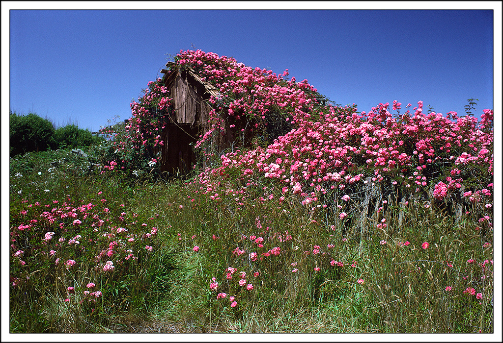 Barn and Roses