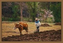 Farmer And His Cow - S. Korea