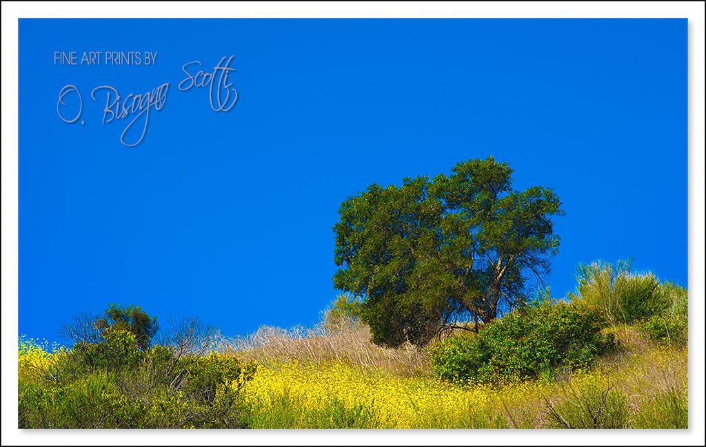 Live Oak on a Hill