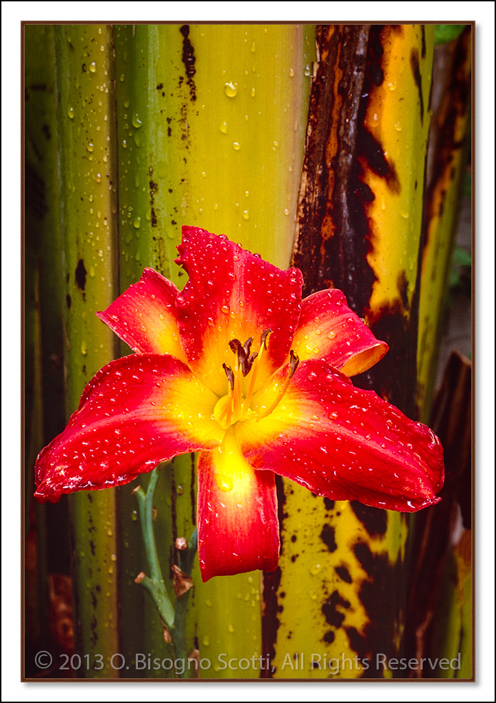 Morning Dew on a Red Lily