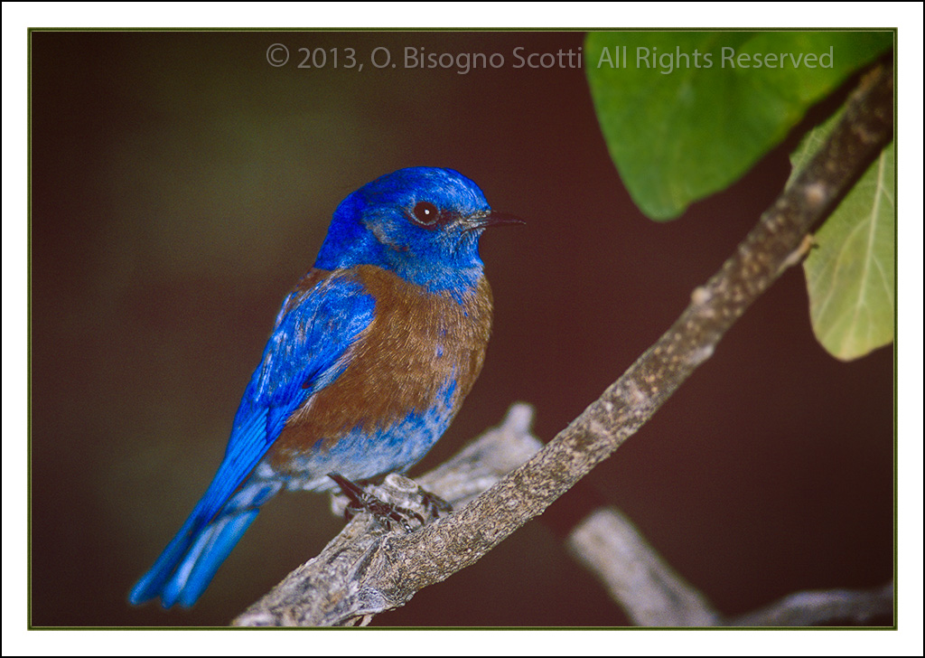 Mountain Blue Bird 2