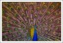 Peacock-1, LA Arboretum