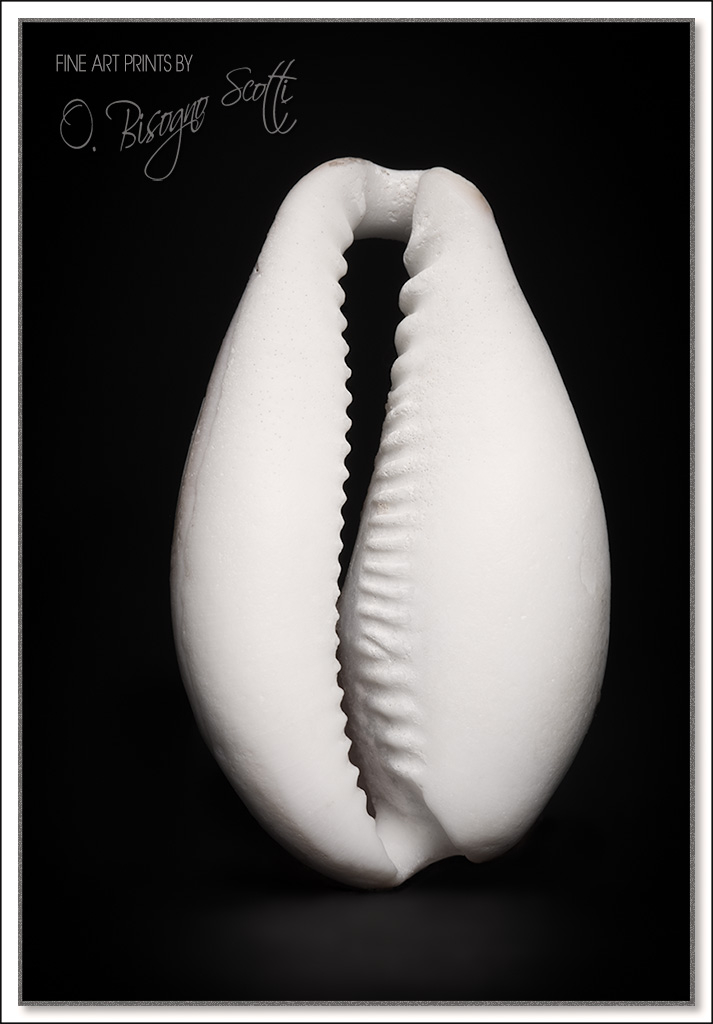 Sinuous Seashell