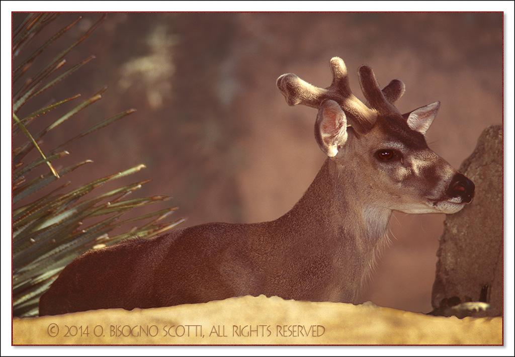 Avra Valley Velveted Deer 1995