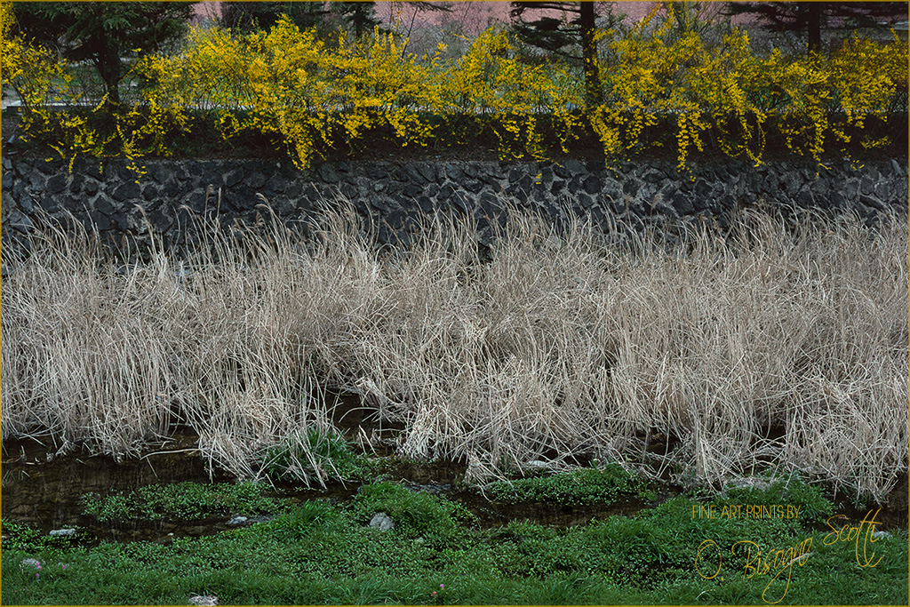 Korea, Forsythia, Reeds, and Grass, June, 1994