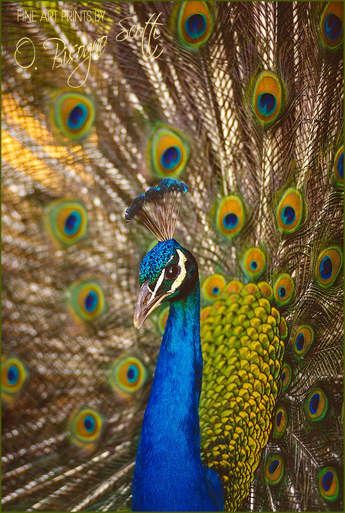 Peacock 2, The Arboretum