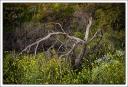Dead Tree on the Trail to Dante's Peak