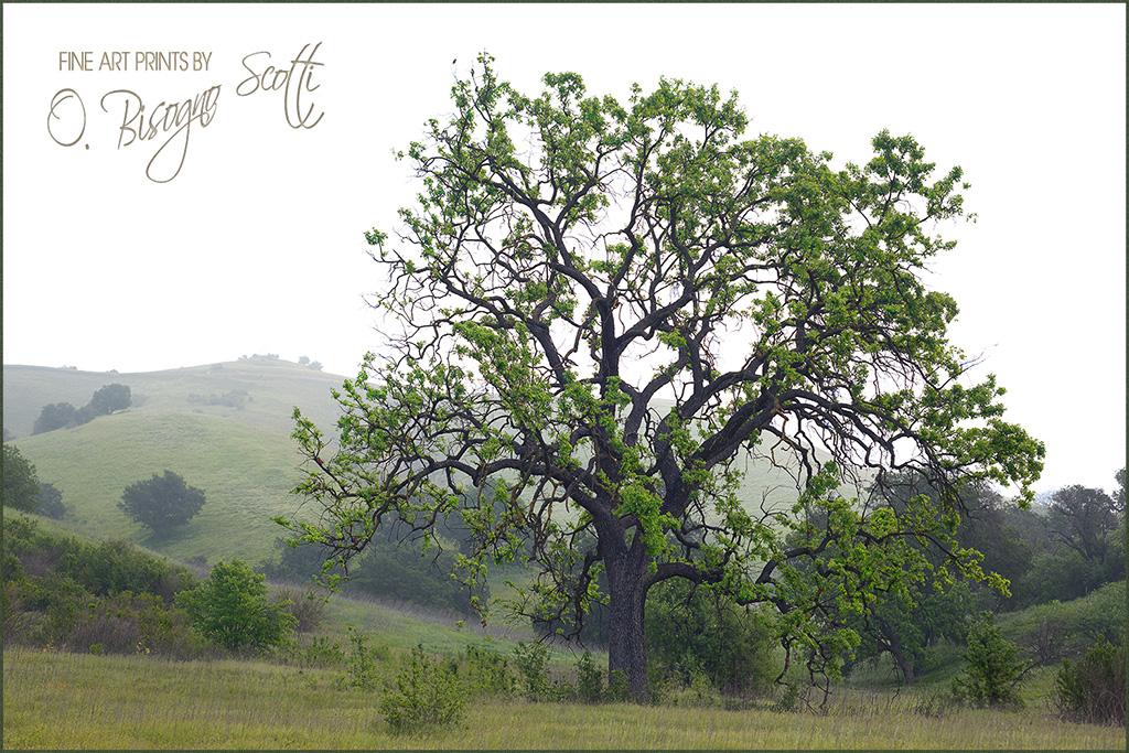 Coastal Live Oak, Easter Morning, Cheeseboro Canyon