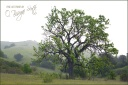 Coastal Live Oak, Easter Morning, Cheeseboro Canyon