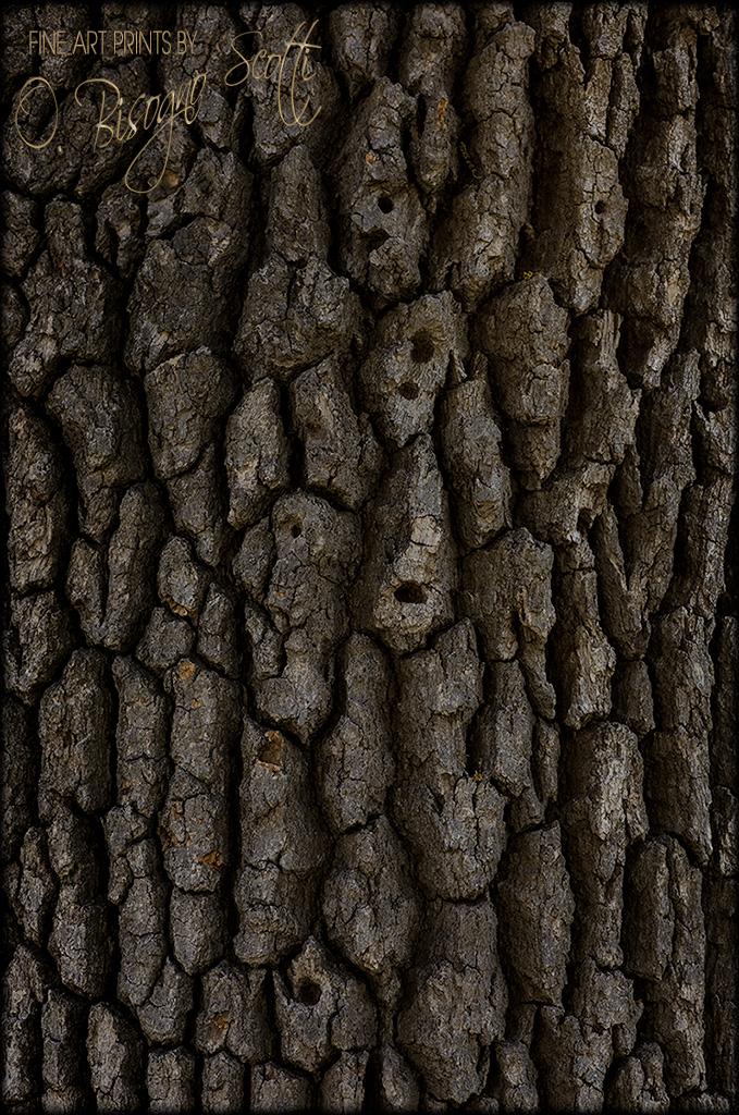 Coastal Live Oak Bark