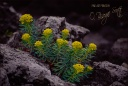 Yellow Flowers in Volcanic Rock - Korea