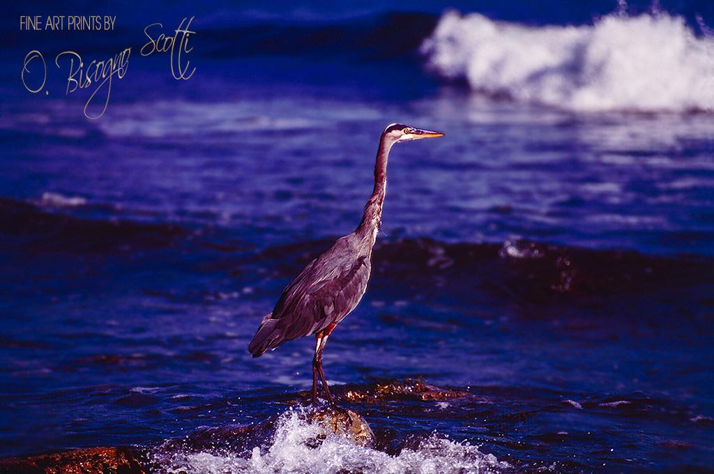 Great Blue Heron-McGrath State Beach