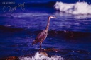 Great Blue Heron-McGrath State Beach