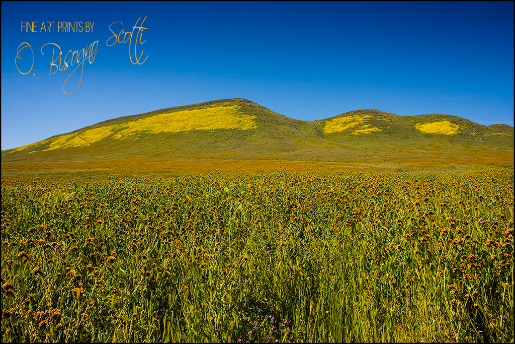 Fiddleneck For Miles - Carrizo Plain NM