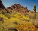 Spring flowers - Organ Pipe Cactus NM