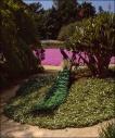 Peacock and Pink Flowers - LA Arboremtum