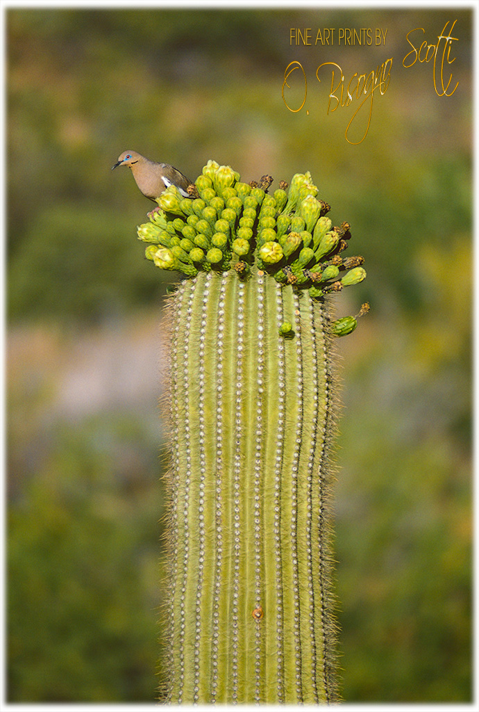 Dove on Saguaro-Saguaro NP West