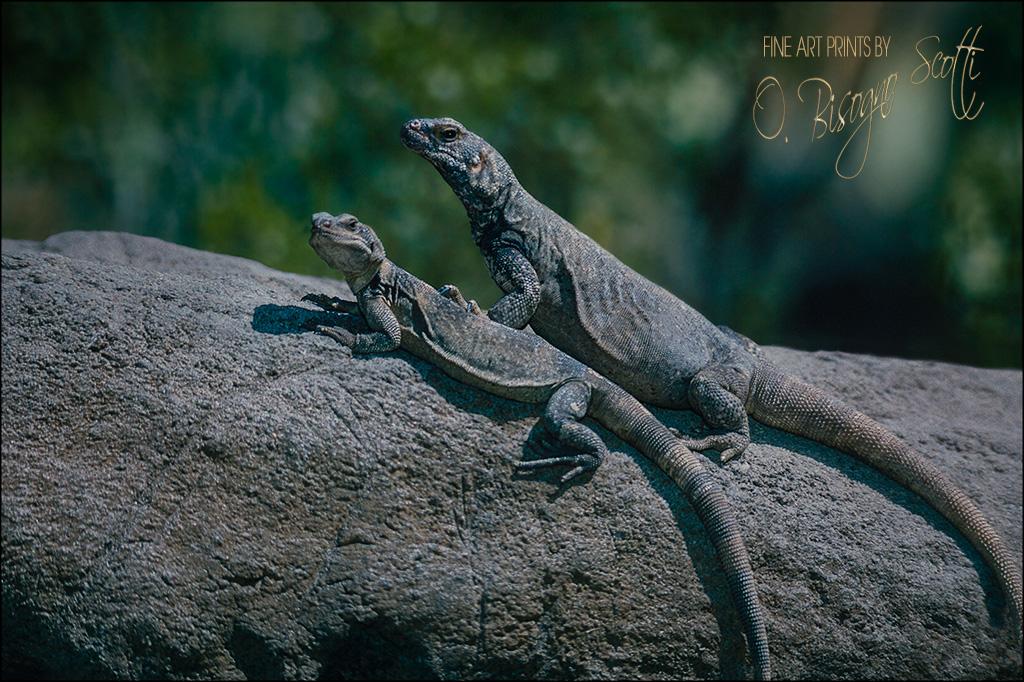 Lizards Sunning