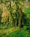 Hoh Rain Forest Moss