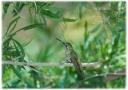 Hummingbird on a Limb, AZ