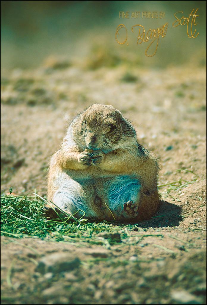 Prairie Dog Munching, Arizona