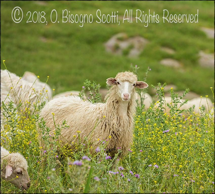 The Sheep of Ciminna 2