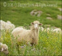 The Sheep of Ciminna 2